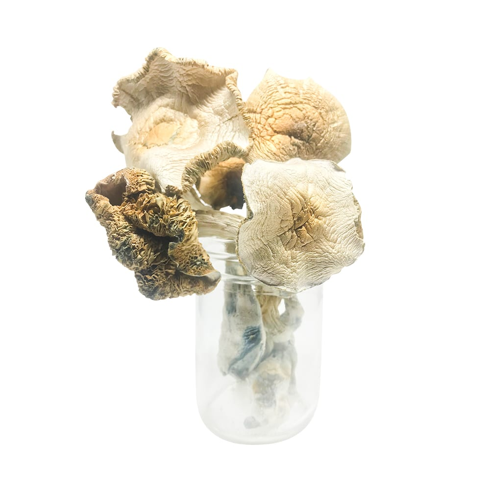 Psilocybe Cubensis: Golden Teacher AAAA+ Mushrooms